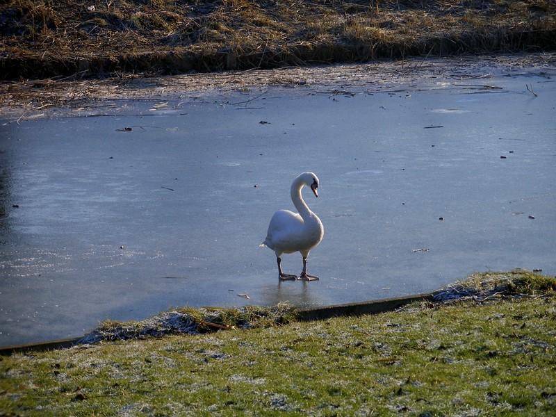 лебеди ходят пешком