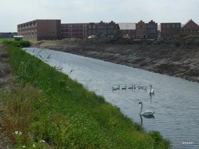 лебеди на новом месте
